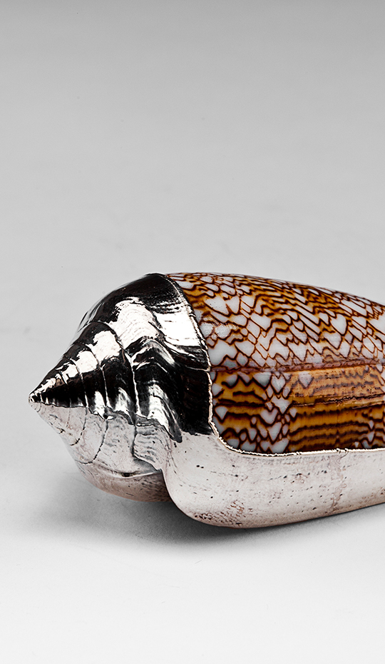 Partially Silvered Conus Sebastian Shell