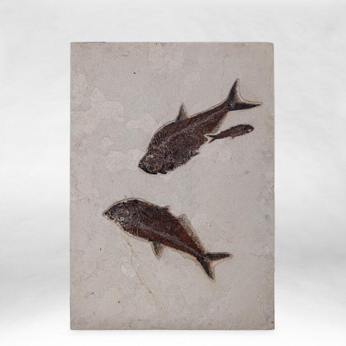 Dyplomistus Fish Fossil