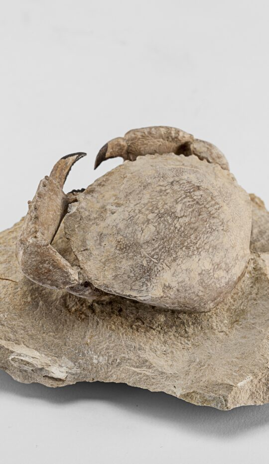 Fossilized Crab