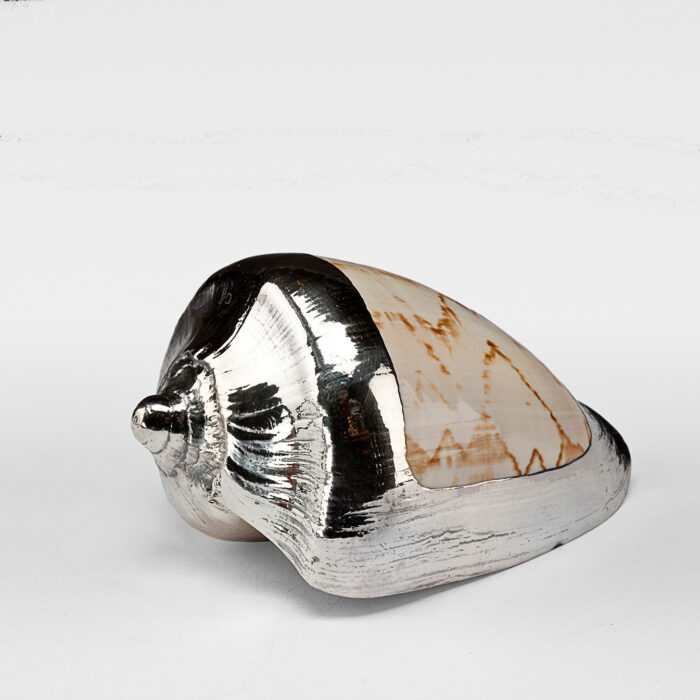 Partially Silvered Nobilis Shell