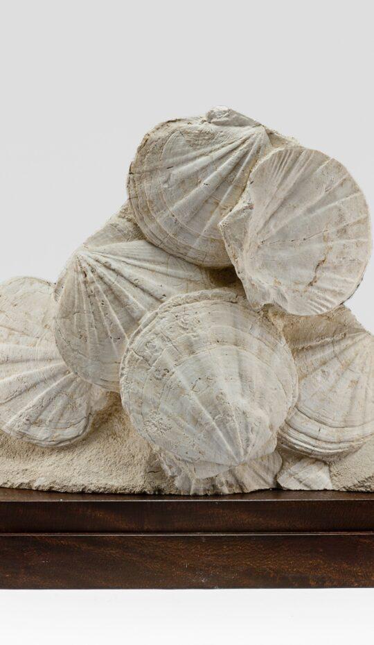 Pecten Latissiumus Fossil