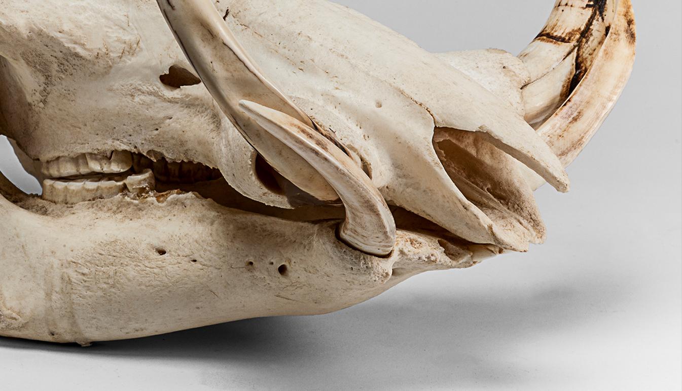 Warthog Skull