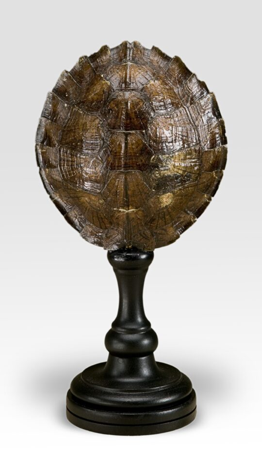 Mounted Wood Turtle Shell