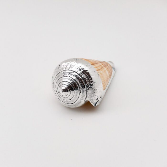 Partially Silvered Conus Woodgrain Shell