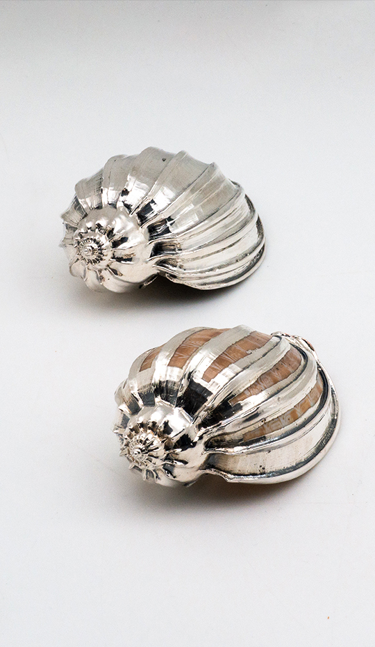 Silvered Harpa Major Shell
