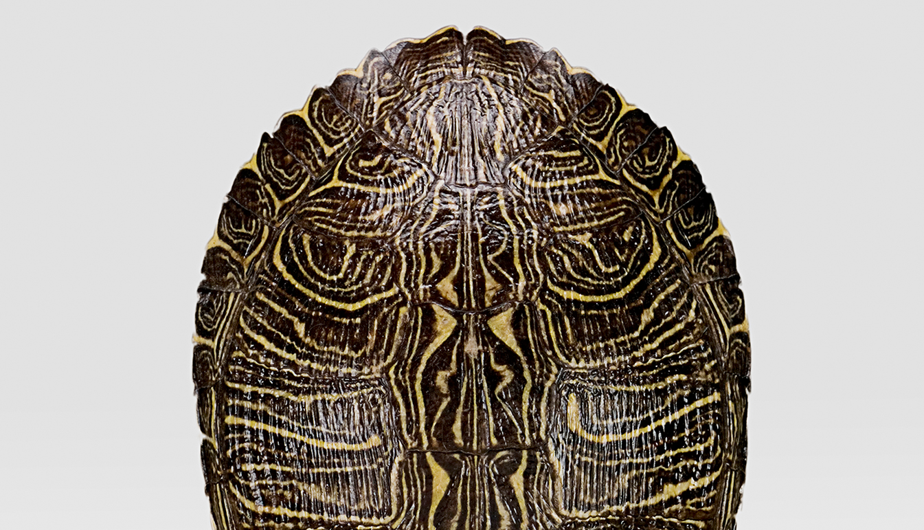 Mounted Red Ear Turtle Shell
