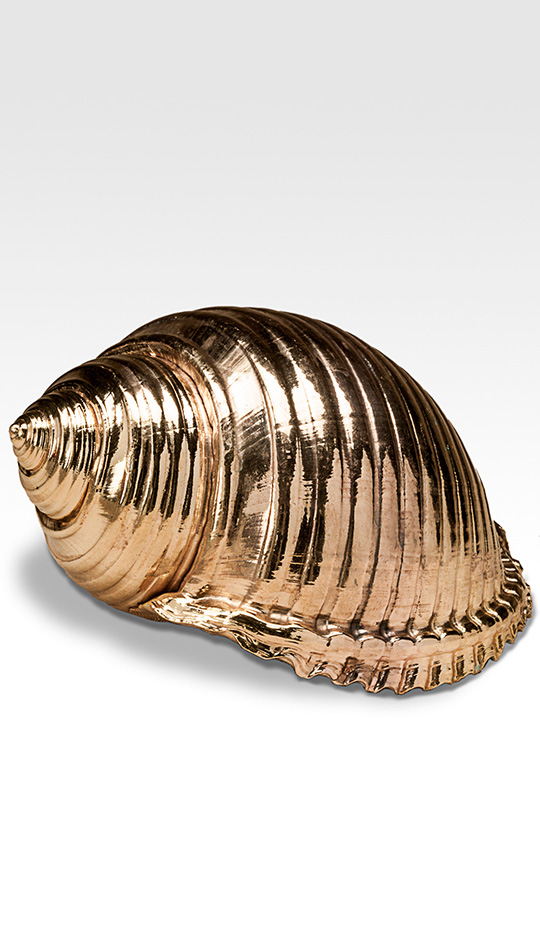 Gilded Tonna Shell