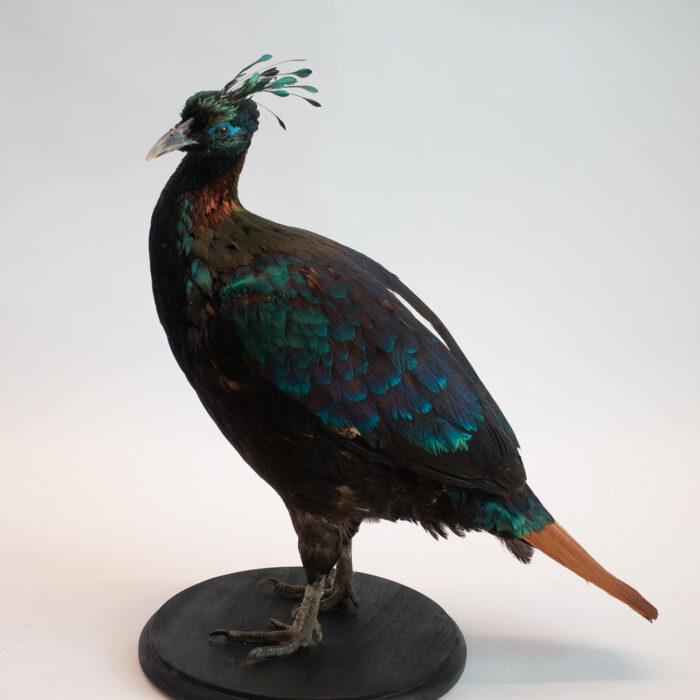 Himalayan Impeyan Pheasant