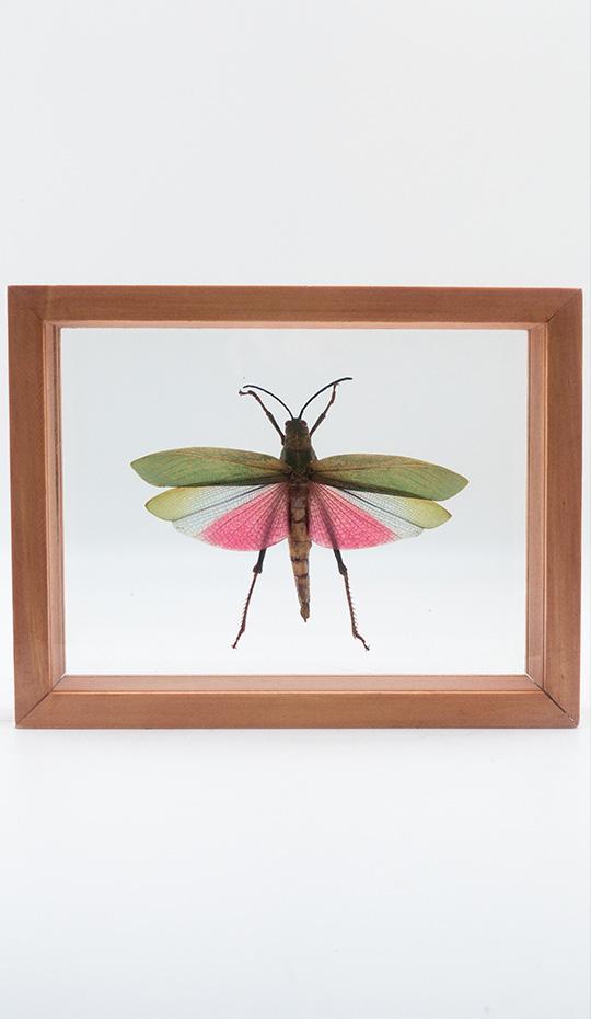 Titanacris Humboldtii Grasshopper, Mounted, Double Glass