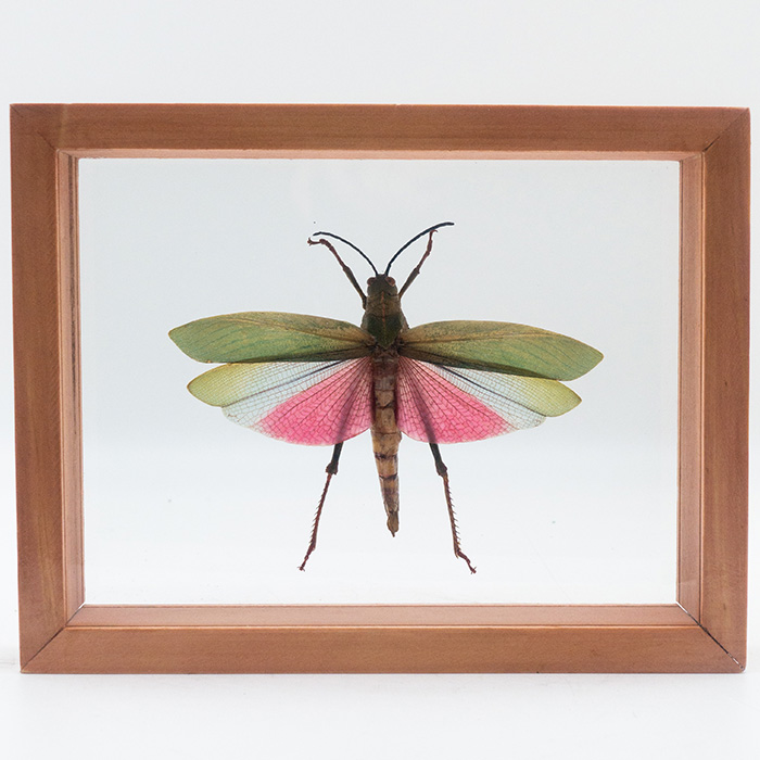 Titanacris Humboldtii Grasshopper, Mounted, Double Glass
