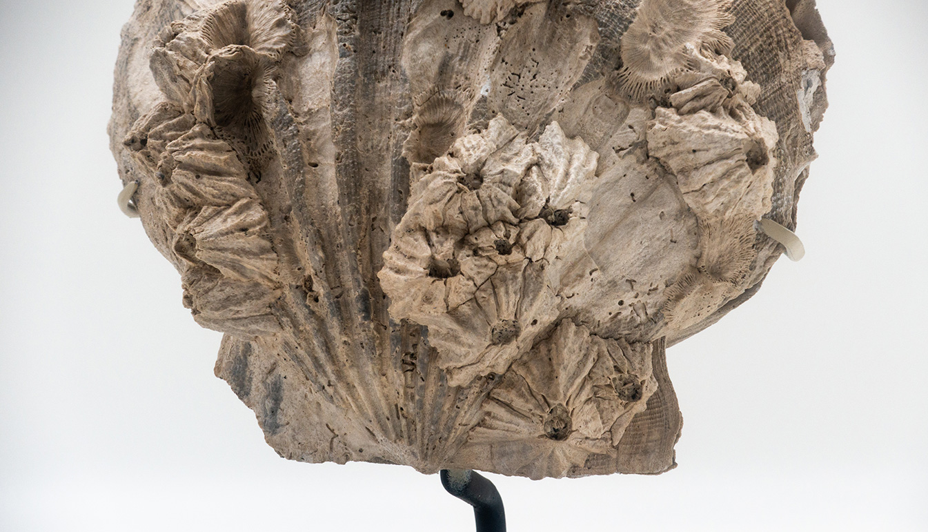 Mounted Fossilized Pecten Shell