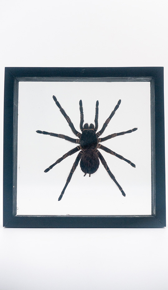 Peruvian Orange Stripe Tarantula, Mounted, Double Glass