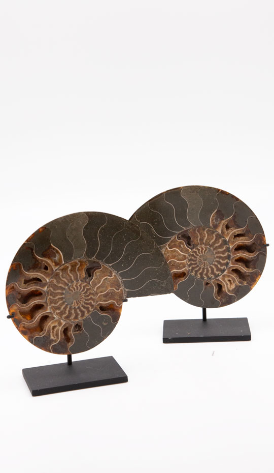 Pair of fossilized ammonite slices mounted on a black metal base