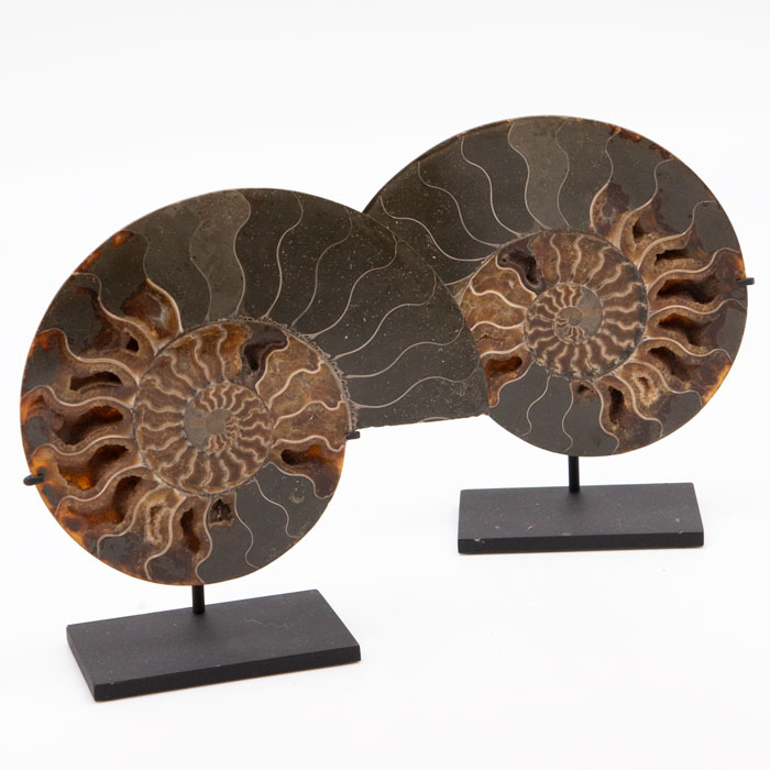 Mounted Ammonite Slices, Pair