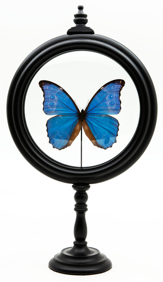 Morpho Didius butterfly: a Blue Butterfly in Round Reliquary mounted in France.