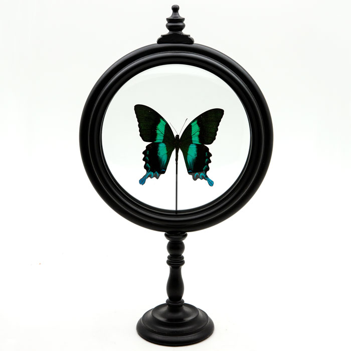 Papilio Blumei butterfly : Green Butterfly in Round Reliquary, mounted in France