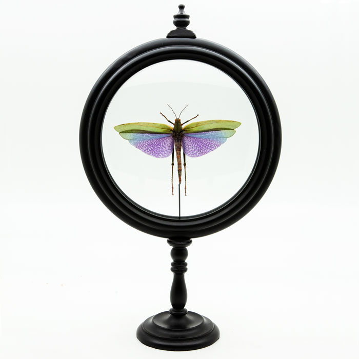Purple Locust in Round Reliquary, mounted in round reliquary.