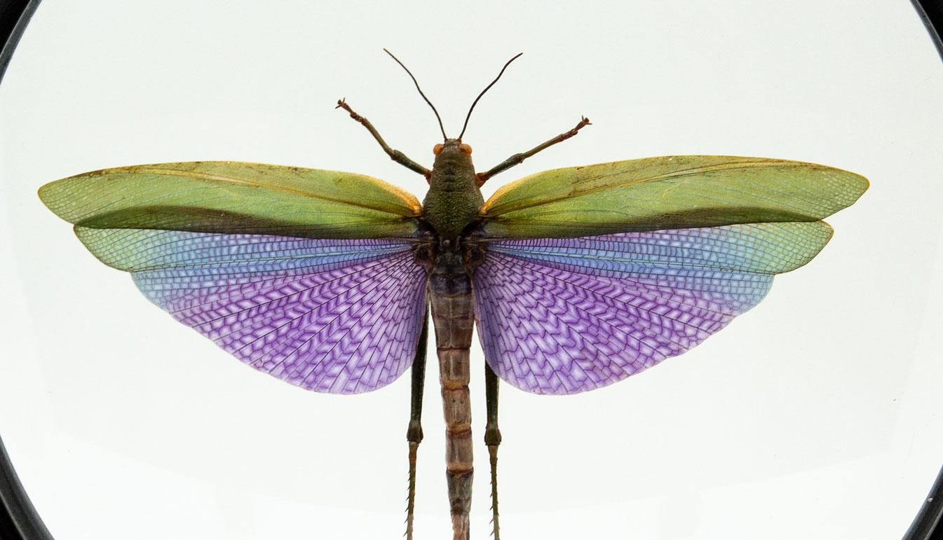 Purple Locust in Round Reliquary