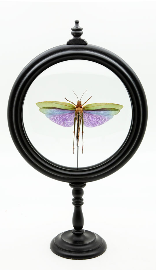 Purple Locust in Round Reliquary. Titanacris mounted in round reliquary. Double glass on turned wood base.