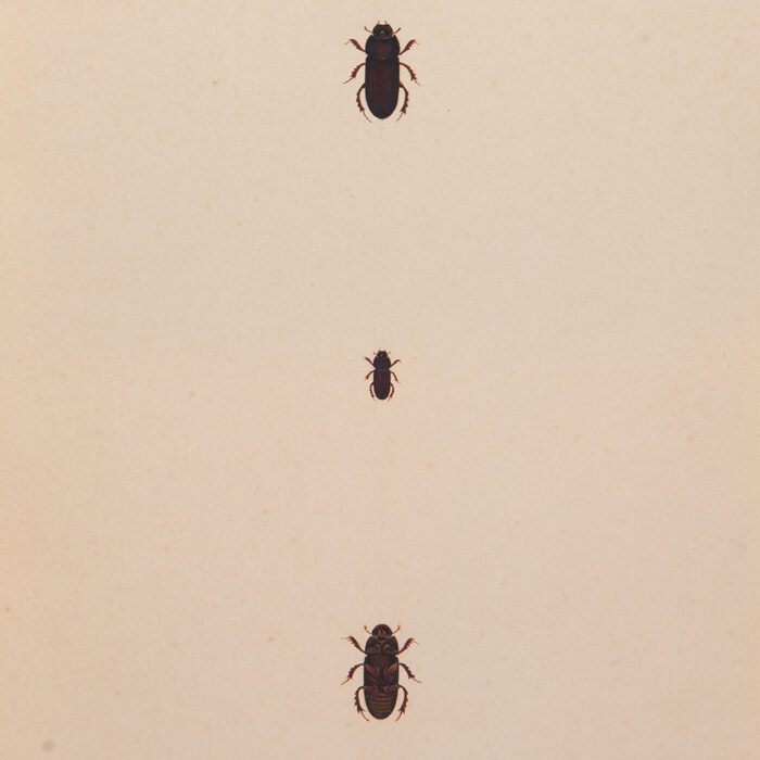 Brown Scarab Painted Beetles three, one above the other on cream antiqued paper background