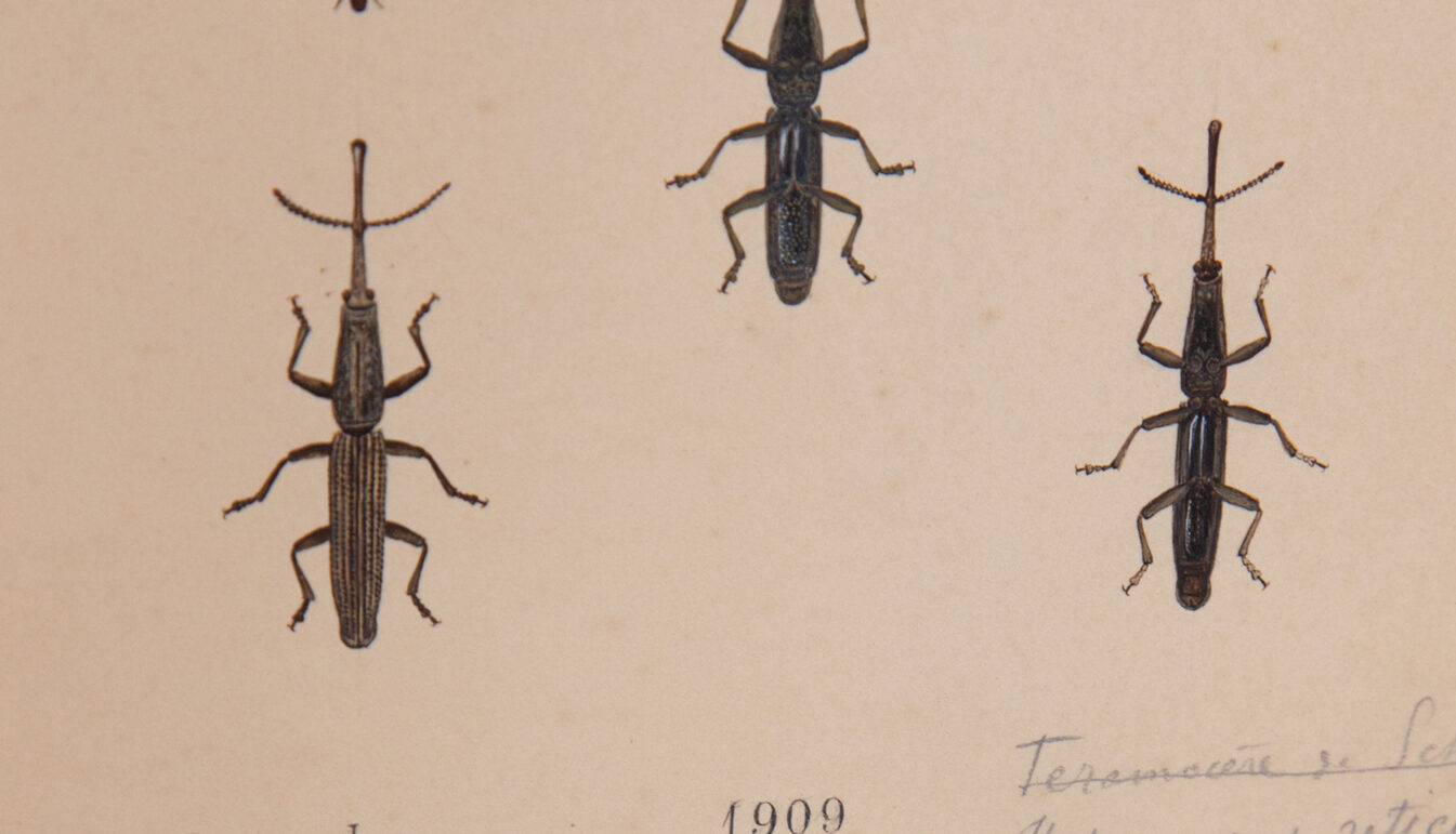 20th C. Painting of African Weevil