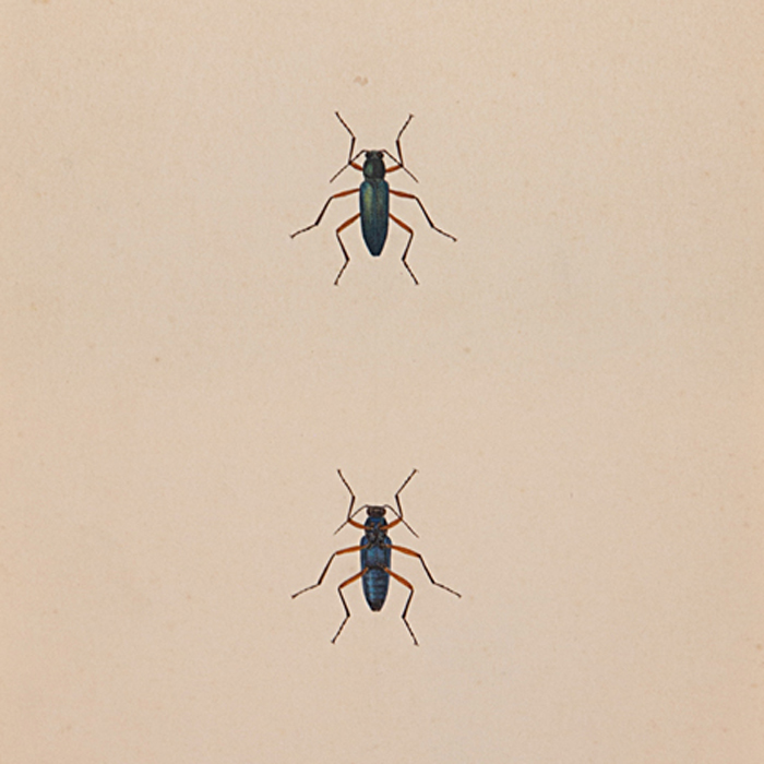 Two Painted Beetles With black and green long bodies and red long legs