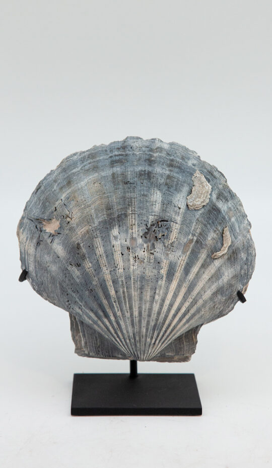 Mounted-fossilized-pecten-shell-blue